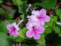 Orchid Lace