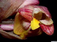 Acanthephippium splendidum