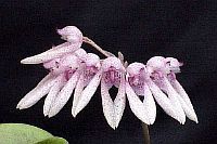 Bulbophyllum acuminatum