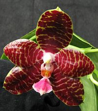 Phalaenopsis Red Jaguar