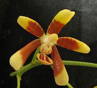 Phalaenopsis kunstleri