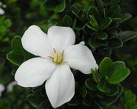 Gardenia White Gem