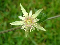 Passiflora Jayne T
