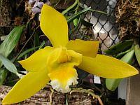 Encyclia citrina