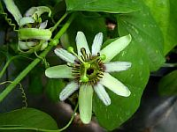 Passiflora Helleri