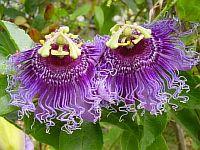 Passiflora Byte