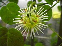 Passiflora Gracillima