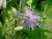 Passiflora Sandra