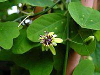 Passiflora Allanthophylla