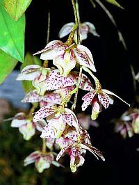 Dendrobium cruttwellii