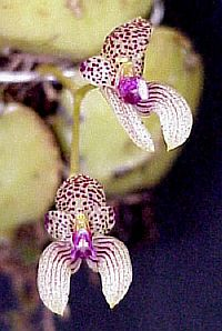 Bulbophyllum anceps