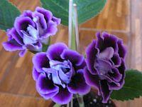 Брокарде Фиолет