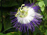 Passiflora cyanea