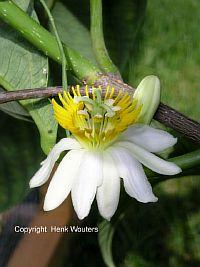 Passiflora Alliacea