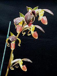 Paphiopedilum gigantifolium