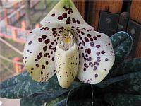 Paphiopedilum concolor x bellatulum