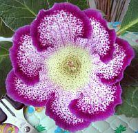Тигрина Фиолетовая
