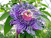 Passiflora Emina