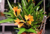 Dendrobium vexillarius orange
