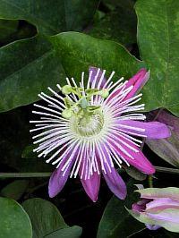 Passiflora Colet