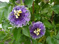 Passiflora Blue Byte