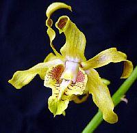Dendrobium conanthum