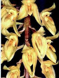 Bulbophyllum orientale