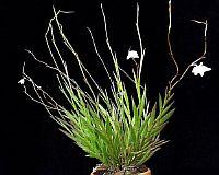 Dendrobium clavator