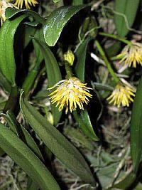Bulbophyllum odoratissimum