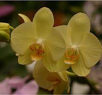 Phalaenopsis Golden Emperor  Sweet