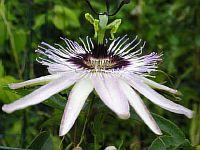 Passiflora Blanka