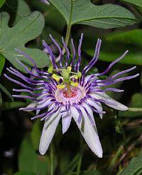 Passiflora karwinskii
