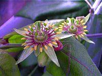 Passiflora cobanensis