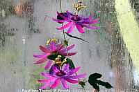 Passiflora Thuraia