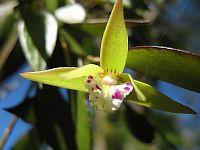 Dockrillia pugioniformis
