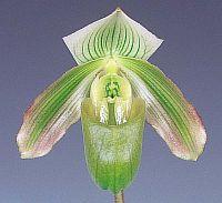 Paphiopedilum bougainvilleanum