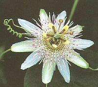 Passiflora Saint Rule