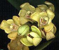 Dendrobium comptonii