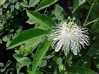 Passiflora Incarnata-alba