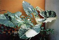 Alocasia macrrohiza Variegata