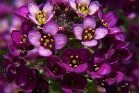 Alyssum-purple