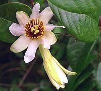 Passiflora Candida