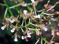 Acriopsis densiflora