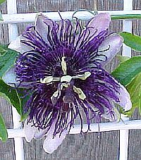 Passiflora Indigo dream