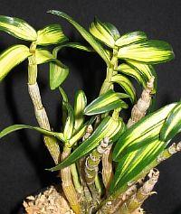 Dendrobium moniliforme Benikomachi