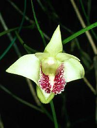 Dendrobium junceum