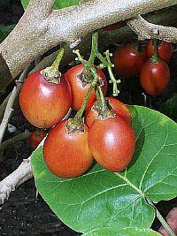 Cyphomandra abutiloides