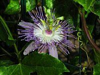 Passiflora Marcela