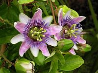 "Passiflora ""Belotti"""