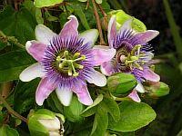 "Passiflora ""Belotti"""